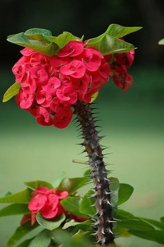 Crown of Thorns (โป๊ยเซียน (พืช)) Euphorbia milii Unusual Flowers, Unusual Plants, Amazing Flowers, Beautiful Flowers, Red Flowers, Cacti And Succulents, Planting Succulents, Planting Flowers, Crown Of Thorns Plant