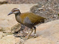 The Guam Rail (Gallirallus owstoni) (Chamorro name: Ko'ko' [2]) is a flightless bird, endemic to the United States territory of Guam. The Guam Rail disappeared from southern Guam in the early 1970s and was extirpated from the entire island by the late 1980s.