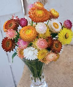 """Strawflower, Tall Mixed Colors Annual 24-36"""" Start indoors covering seeds lightly (seeds need light to germinate), 4-6 weeks before transplanting outdoors. Direct, after danger of frost is past. Strawflowers prefer well-drained, sandy soil in full sun and can tolerate hot, dry conditions. They do not require staking or any special maintenance."""
