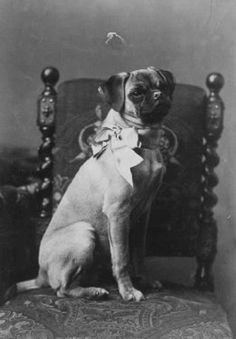 1890's pug...so much taller, with a much more rounded head and prominent nose.