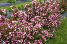 Czechmark Twopink™ - Weigela florida | Proven Winners