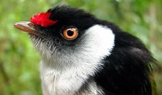 The Pin-tailed Manakin is endemic to Brazil, where its natural habitats are subtropical or tropical moist lowland forests and subtropical or tropical moist montane forests.