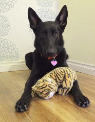 Rebekah is an adoptable German Shepherd Dog Dog in Seattle, WA.  My name is Rebeka. I'm a 3 year old black german shepherd. I'm the luckiest girl in the world because I am healthy, smart and most im...  FENCED YARD