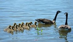 Baby geese, known as goslings, follow their mother's lead as they feed along the bank of the Illinois River. Geese are related to both swans and ducks. One of their survival mechanisms is collective animal behavior, which allows them to forage better and to steer clear of predators.