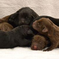 Seifert Labradors Labrador Breeders, Labrador Retriever, Labradors, Nursery, Dogs, Animals, Labrador Retrievers, Animaux, Baby Room