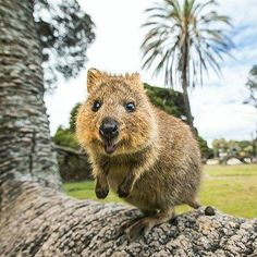 Hanging out with quokkas on Rottnest Island today. They're still adorable as ever. Potentially ODing on them for the next few days 🐻🌴 I'll be sharing lots more quokka content on and Happy Animals, Animals And Pets, Cute Animals, Nature Pictures, Cute Pictures, Perth, Country Critters, Quokka, San Diego Zoo