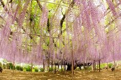 Giant Wisteria / 大藤棚 | Flickr - Photo Sharing!