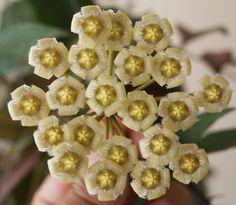 Hoya mirabilis