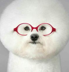 Cutie Bichon in glasses.