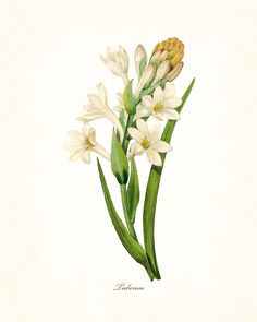 REDOUTE SERIES 1 - TUBEROSE GICLEE CANVAS PRINT This print features an antique botanical illustration by the renowned Pierre Redoute which has been digitally enhanced and added to a light neutral back