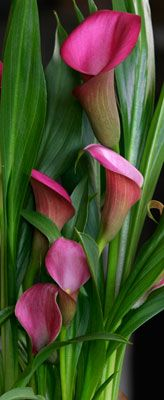 Calla Lily - I love Calla Lily's. I had them in my garden, but the drought the last 3 years finally did them in.