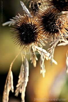 Burdock Seed Heads ~ w/Graceful Stems of Meadow Grass / Nature, Rustic / Fine Art Photography Print. Backlit by the sun are these beautiful seed heads of burdock plants (known to have inspired the creation of modern-day velcro) intermingling with slim stems of graceful, arching wild meadow grass. Lovely background bokeh effect.