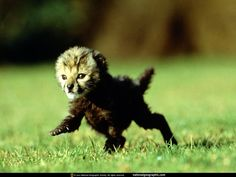 Collection of Baby Cheetah Wallpaper on HDWallpapers 1920×1080 Baby Cheetah Wallpapers (45 Wallpapers) | Adorable Wallpapers