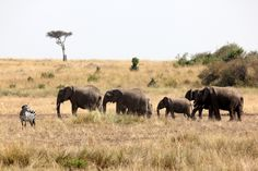 Elephants coming for a closer view of the wildebeest and zebra migration.