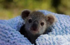 Elsa the Koala Joey disfruta rascarse la barriga y alimentarse en el Australian Reptile Park - I Love The Animals - Animales Baby Animals Super Cute, Cute Little Animals, Cute Funny Animals, Cute Dogs, Cute Puppies, Baby Animals Pictures, Cute Animal Photos, Australian Reptile Park, Animal Captions