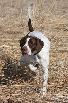 Everything we all adore about the Curious German Shorthaired Pointer Puppies English Pointer Dog, Pointer Puppies, Interactive Dog Toys, Raining Cats And Dogs, German Shorthaired Pointer, Mundo Animal, Hunting Dogs, Working Dogs, Dog Accessories