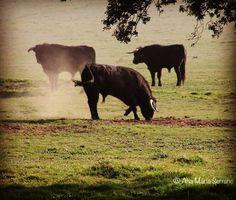 Toros en el Campo Charro #dehesa #toros #medioambiente #campo #campocharro