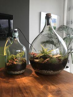Ecosysteem , planten in een fles, lamp Plant In Glass, Glass Garden, Water Garden, Bottle Terrarium, Terrarium Diy, Potted Plants, Indoor Plants, Closed Terrarium Plants, Plants In Bottles
