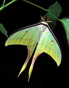 ☆ Male Actias selene - Indian Moon Luna Moth ☆
