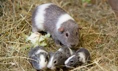 Guinea Pig with cute baby's