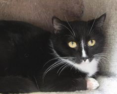 Izzy 34089732 is an adoptable Domestic Short Hair searching for a forever family near Mount Holly, NJ. Use Petfinder to find adoptable pets in your area.