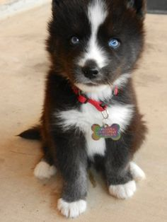 Husky.... almost looks like a cross between a border collie and a husky.... seriously dream dog right here