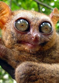 Tarsiers are small primates, less than the size of a squirrel, native to southeast Asia. They are bizarre looking critters, but cute!