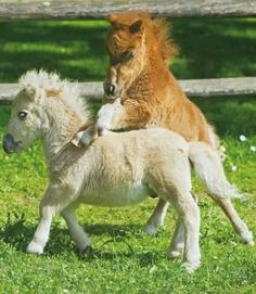 The Falabella is a small Argentine horse that rarely stands above 32 inches in height. It is considered to be a miniature horse rather than a pony and is as one Pretty Horses, Horse Love, Beautiful Horses, Animals Beautiful, Poney Miniature, Miniature Ponies, Cute Baby Animals, Animals And Pets, Funny Animals