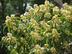 Koa Tree Flowers Hawaii