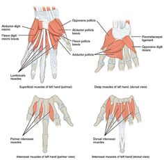 1121 Intrinsic Muscles of the Hand.jpg