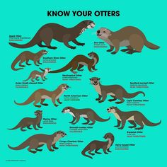 Know Your Otters by PepomintNarwhal