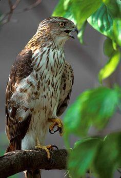 Coopers Hawk by Gerald Marella