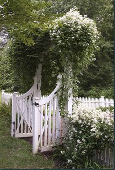Gorgeous wisteria and sweet autumn clematis climb together over the garden gate. The clematis is abloom in drifts of white late summer blooms.