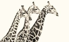 Africa...www.Karens.co.za Giraffe, Wildlife, Africa, Animals, Animales, Felt Giraffe, Animaux, Animal, Giraffes