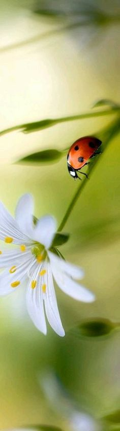 ladybird descending the 'mountain' to the flower ; Beautiful Bugs, Amazing Nature, Beautiful World, Beautiful Pictures, Flora Und Fauna, Fotografia Macro, A Bug's Life, Bugs And Insects, Tier Fotos