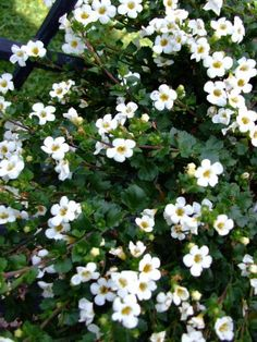 the is a Bacopa plant, It blooms spring through fall and comes in pink!