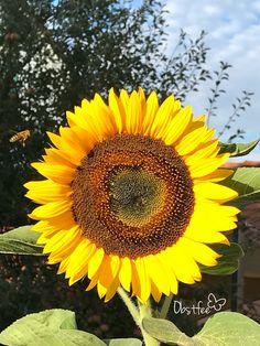 Diese Sonnenblume ist einfach gewachsen ohne zusätzlichen Dünger. Plants, Sunflowers, Simple, Nice Asses, Plant, Planets