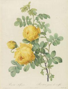 Redouté, P.-J., Les Roses.