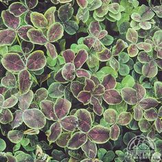 Black-leaved clover! Trifolium repens 'Pentaphyllum'. Hardy to zone 4 and a striking ground cover.