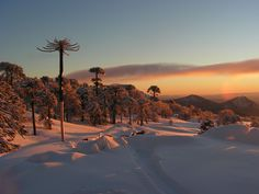 Conguillio National Park, Chile. Araucaria trees.