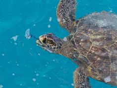 Midway's Green Sea Turtles Dine on Jellyfish For Lunch (Photos)