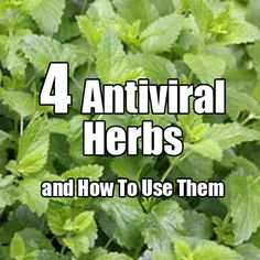 ❤ 4 Antiviral Herbs and How To use Them ❤