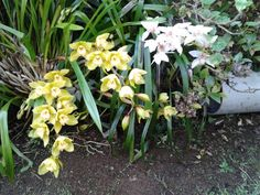 Orchids in our garden