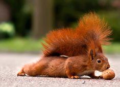 Squirrel tackling a nut