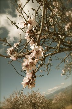 Almond Blossom - http://wp.me/p29ILL-nv