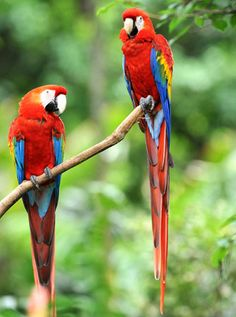 Macaws for forest part