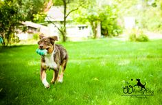 Australian Shepherd enjoying his Kong.