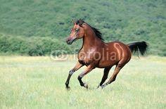 beautiful brown arabian horse running gallop on pasture