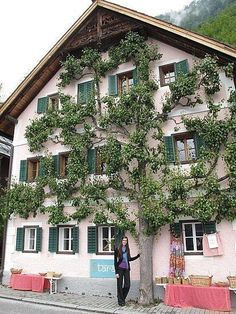 espalier pear tree a trellis or framework on which the trunk and branches of fruit trees or shrubs are trained to grow in one plane. Espalier Fruit Trees, Trees And Shrubs, Amazing Gardens, Beautiful Gardens, Landscape Design, Garden Design, Baumgarten, Pear Trees, Looking Out The Window