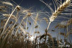 Farming: EU Cereals to increase till 2015